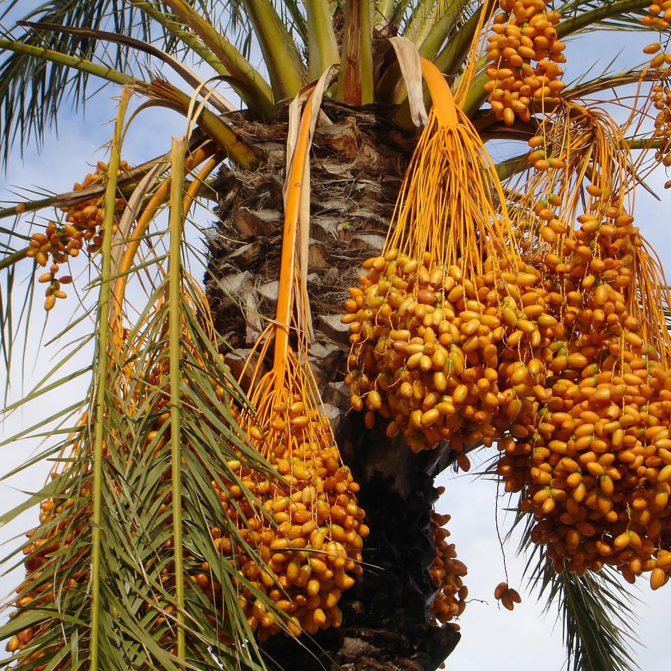 dates fruit in spanish fruit fly lifespan